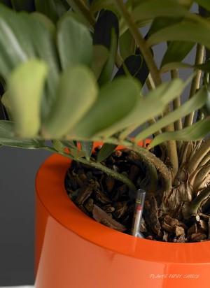 Hydrokultur-Pflanze